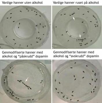 """""""De naturlige hann-fluene uten alkoholdamp (til venstre) og med alkoholdamp (til høyre) i forsøksbeholderen. Nederst: De genmodifiserte hannfluene i alkoholdamp med dopamin-hjerneaktiviteter (til venstre) og uten dopamin-aktiviteter (til høyre)."""""""