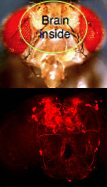 """""""Nerveceller med dopamin-aktivitet i bananflue-hjernen lyser rødt. Slike nerveceller er bare 0,1 prosent av alle nervecellene, men har altså en viktig funksjon."""""""