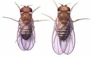 """""""Bananfluer. Hann til venstre, hunn til høyre. (Illustrasjon: NASA)"""""""