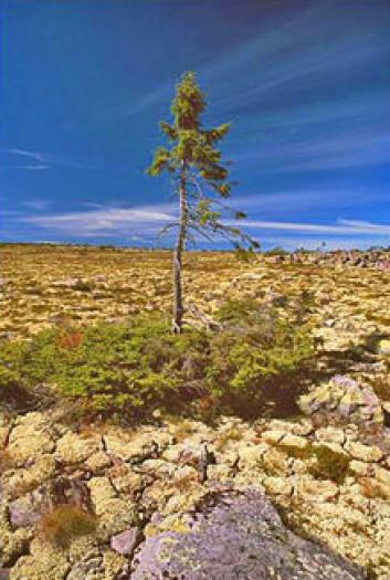 """""""Denne grana i Dalarna i Sverige er hele 9 550 år gammel. (Foto; Leif Kullmann, Umeå Universitet)"""""""