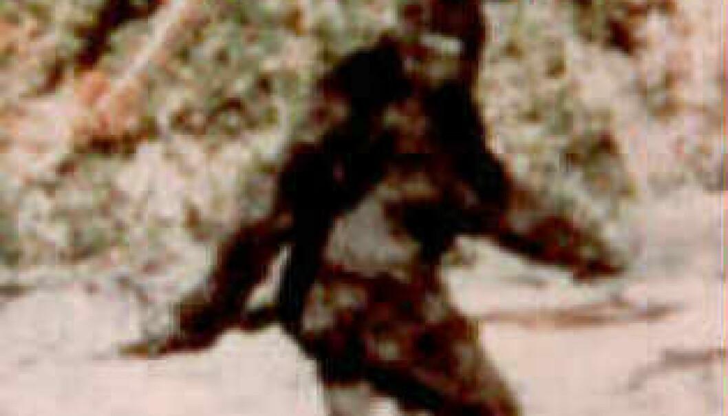 """""""Bigfoots største medie-stunt - rett etter innspillingen av Planet of the Apes"""""""