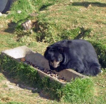 """""""Brillebjørn, eller Tremarctos ornatus på latin, finnes kun i Sør-Amerika. Den er viktig å ta vare på og forske på. Forskerne vet lite om denne bjørnen og det er vanskelig å si om bestanden er truet eller stabil."""""""
