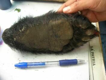 """""""Avkuttede bjørneføtter skal bringe lykke, men neppe for brillebjørnen. På heksemarkedet i hovedstaden La Paz ble det solgt bjørnelabber for 10 kroner stykket. - Her var det mange truede dyrearter. Jeg fikk sjokk da jeg gikk rundt der. Alt fra pumadeler og til andre dyr var å få kjøpt, sier Knagenhjelm."""""""