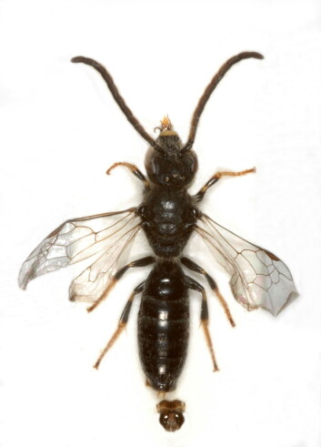 "Fjellsmalbie (Lasioglossum boreale). (Foto: Oddvar Hanssen, NINA)"""