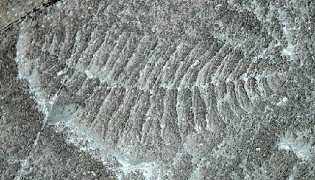 """""""Dette fossilet fra Mistaken Point-formasjonen på Avalon-halvøya viser avtrykk av en forlengst forsvunnet livsform som har fått navnet Fractofusus andersoni. Den levde i ediacara-tidsperioden, for om lag 565 millioner år siden."""""""
