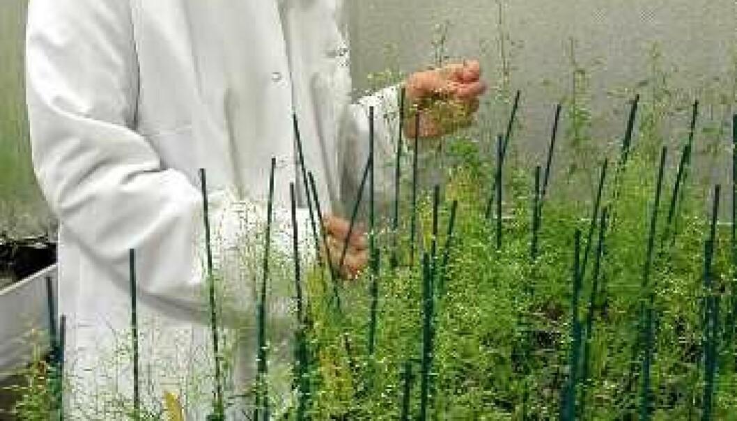 """""""Plantebiologenes bananflue: Arabidopsis thaliana ble i 2 000 den første planten i verden som fikk hele arveanlegget sitt ferdig sekvensert. Professor Reidunn B. Aalen ved Biologisk institutt, Universitetet i Oslo (UiO), har valgt å bruke Arabidopsis til å finne ut hvorfor fremmede gener som blir satt inn i planter av og til ikke blir aktivisert. (Foto: Tor Midtbø)"""""""
