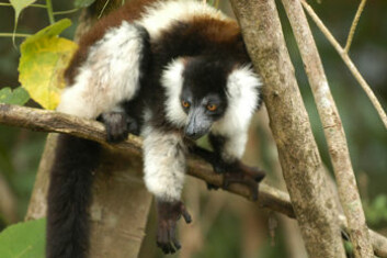 """""""Den største av alle lemurer Indri indri finner du på Madagascar. (Foto: Edward E. Louis Jr.)"""""""