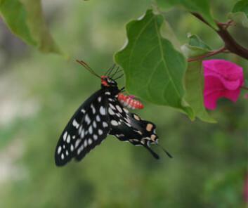 sommerfugl fra madagaskar