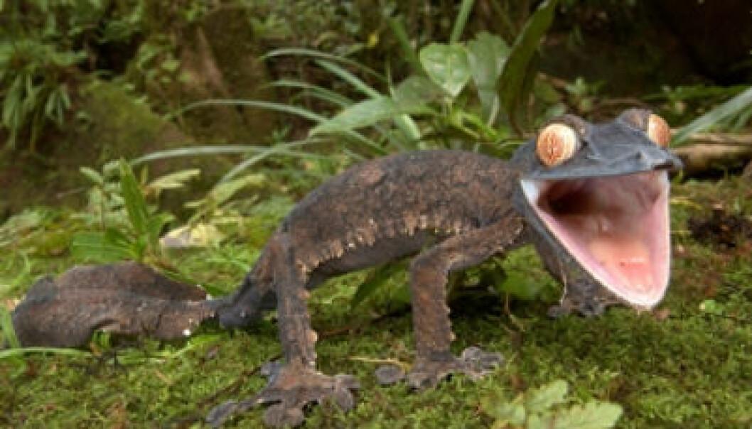 madagaskar gekko kvadratisk