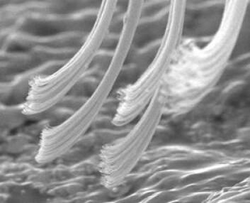 """""""Bilde av hårtupper fra en gekkofot. Foto: Kellar Autumn og Ed Florance"""""""