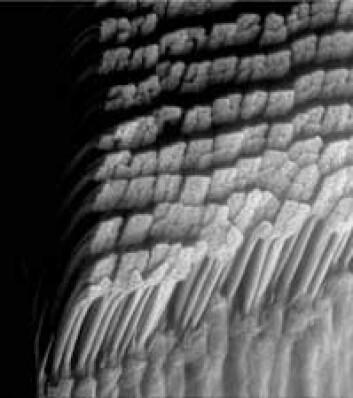 """""""Tett i tett med hår fra en Tokay gekko. Foto: Kellar Autumn og Ed Florance"""""""