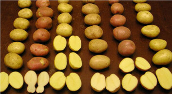 """""""Det finnes tusenvis av potetsorter i verden, mens den norske sortslista har vel 30 godkjente sorter."""""""
