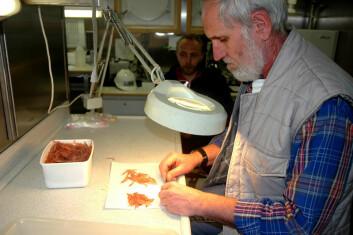 """""""Volker Siegel har vært på 20 forskningstokt til Antarktis. Han mener det skjer store klimaendringer i det antarktiske miljøet som vil ha alvorlige konsekvenser for økosystemet. Her er han i gang med å måle lenden på krillen etter et trålhal. (Foto: Kjartan Mæstad)."""""""