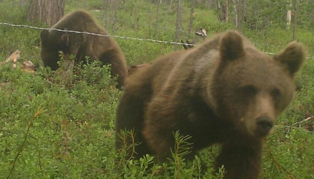 Hårfeller avslører bjørnen