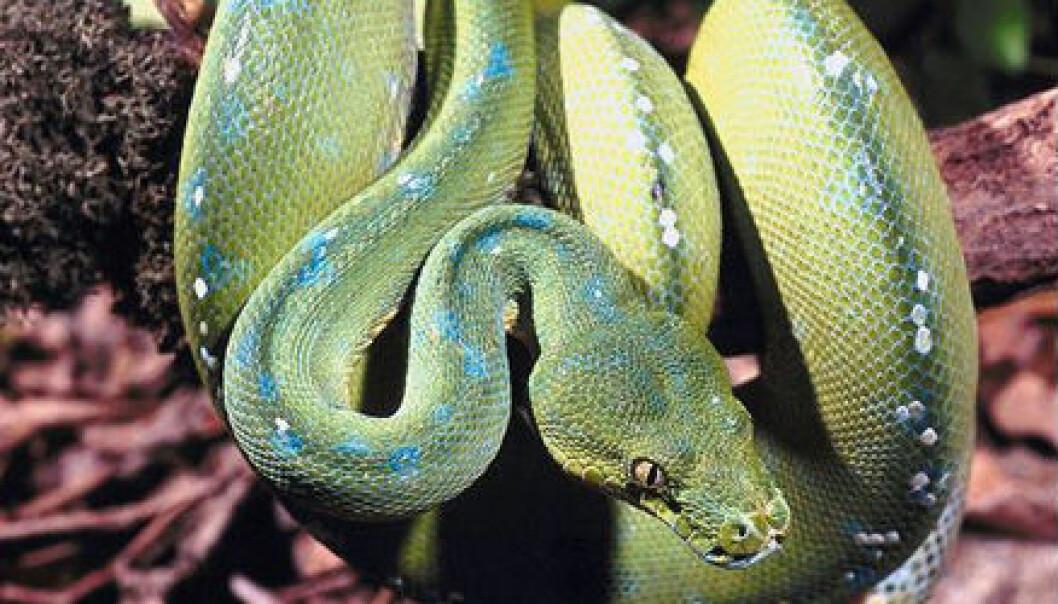 """""""Hvorfor synes vi slanger er så skumle?"""""""