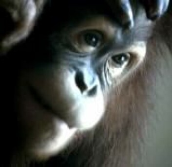 """""""Sjimpanser er menneskets nærmeste slektning, og det kan være gøy å la de spille klovn. Men den gøyale framstillingen er ikke spesielt morsom for den utrydningstruede arten, ifølge studie."""""""