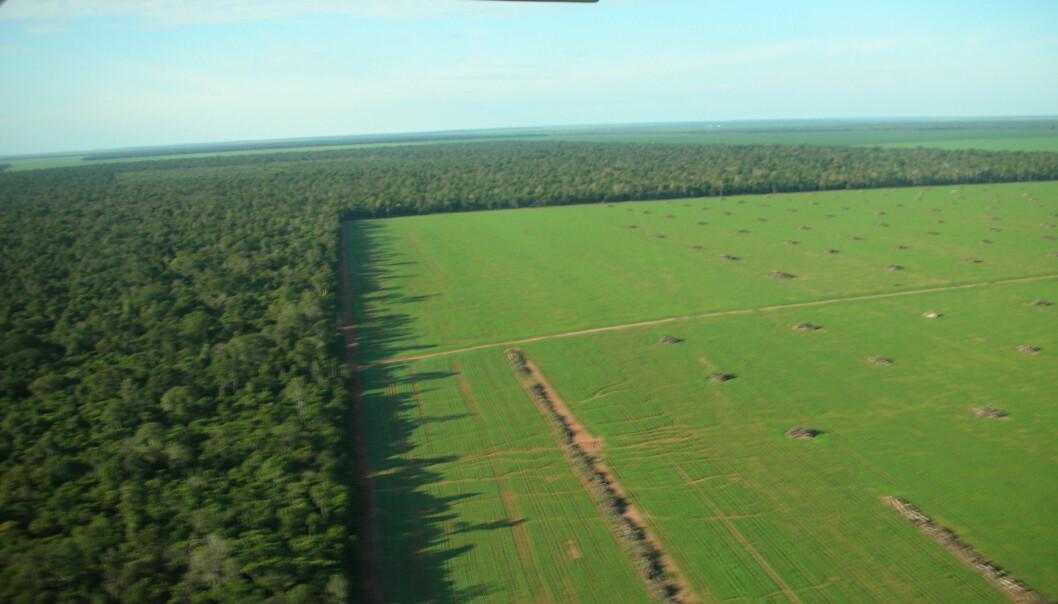 """""""Millioner av hektar med regnskog i Amazonas har blitt hugget ned til fordel for dyrking av soyabønner. Etterspørselen etter soyabønner øker når blant annet amerikanske bønder går over til å dyrke mais for biobrensel. (Foto: Timothy D. Searchinger)"""""""
