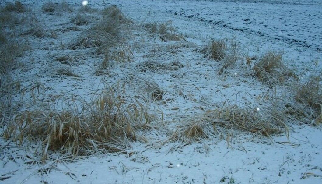 """Strandrør tåler godt den norske vinteren, og dette feltet på Kvithamar skal høstes i april. (Foto: Lars Nesheim)"""