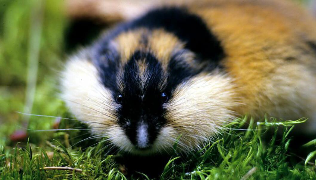 Forskerne begynner nå å forstå i hvor stor grad små dyr som lemen og mus kan påvirke naturen rundt seg. På Dovre ser forskere i sommer at deler av vegetasjonen er blitt helt nedbeitet.  (Foto: Framsenteret)