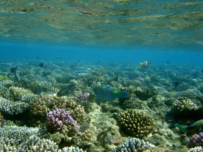 """Korallrevene er """"regnskoger i havet"""", med en biodiversitet som overgår alle andre marine miljøer. Her fra Rødehavet. Foto: Trond Amundsen."""