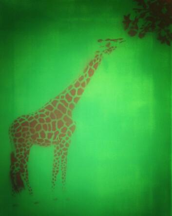 Lamarck trodde giraffen fikk lang hals fordi foreldrene strakk seg etter maten. (Foto: Gunnar A. Myhrer)