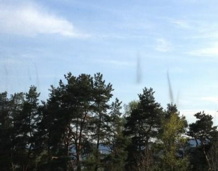 Insektsvermer på Fetsund 28. april. (Foto: T. Wahl)