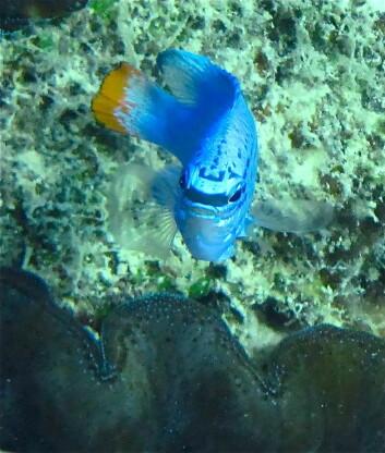 """Mange korallrevsfisk har fantastiske farger, som denne lille krabaten som på engelsk heter """"sapphire devil"""", av alle ting. Hva fargene er godt for er merkelig nok dårlig forstått. Jeg forsker på sånt og prøver å bidra til at vi skal forstå litt mer. Foto: Trond Amundsen."""