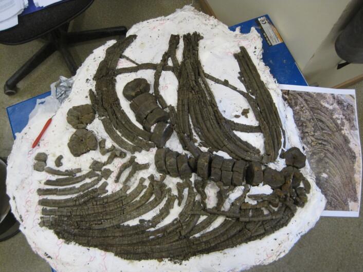Fiskeøgle på laben - klar til å bli beskrevet. Foto: Lene Liebe Delsett