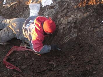 Julie graver fram svaneøgla Gully. Foto: Lene L. Delsett