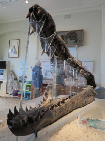 Verdens sterkeste bitt? Pliosaurkjeve fra Weymouth på museet i Dorchester. Foto: LLD