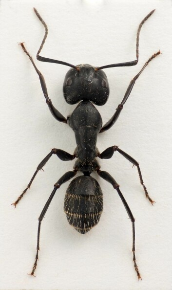 Camponotus vagus er en stokkmaur som er en av Europas største maurarter. Den ble for første gang oppdaget i Norge i 1998, på Valer i Øsfold. (Foto: Lars Sandved Dalen, Skog og landskap).