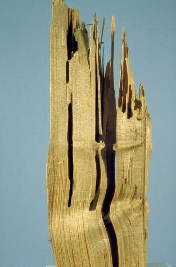 Stokkmaurene bor i trevirke, men eter ikke tre. (Foto: Skog og landskap).
