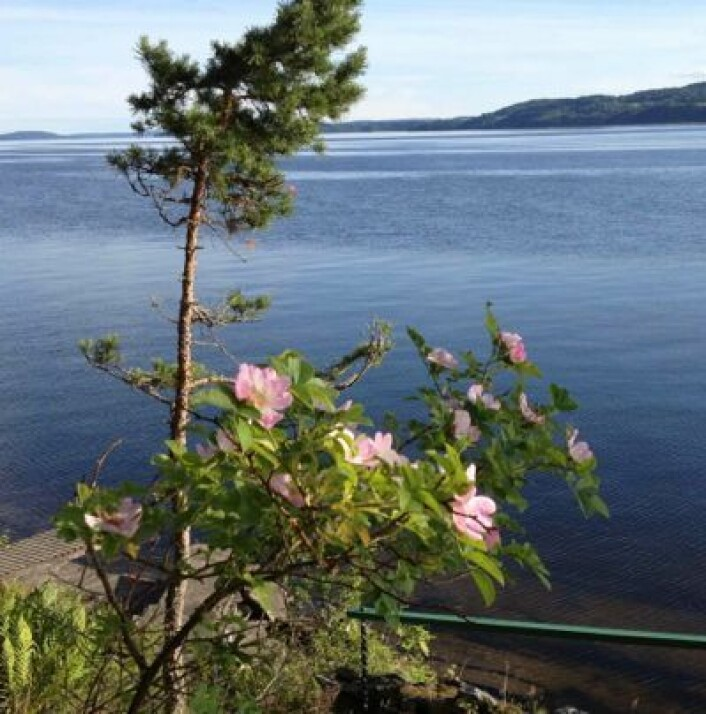 Sommerstemning ved Øyeren 5. juli. Dette bildet er tatt i retning Jami. (Foto: T. Wahl)