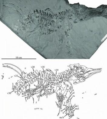 Den nye fiskeøglen Gulosaurus helmi. Øverst: foto av fossilet. Nederst: Tegning som tolker hvilke bein fossilet viser. (Foto: Foto/ tegning: Cuthberthson et al 2013)