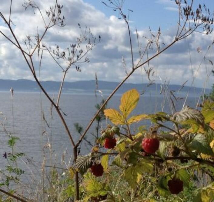 Villbringebærene på hytta ved Øyeren mener det har vært en utmerket sommer i 2012 ... (Foto: T. Wahl)
