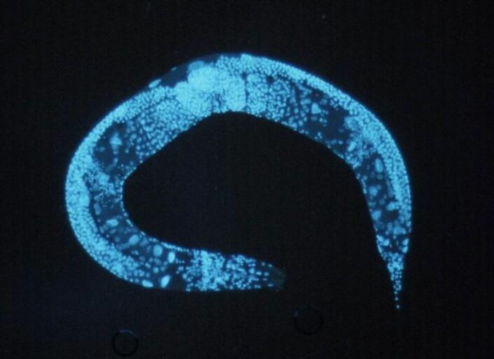 Rundormen Caenorhabditis elegans. (Foto: Wikimedia commons)