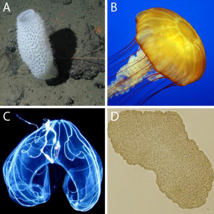 Figur2. A) En svamp. B) Et nesledyr. C) En ribbemanet. D) Trichoplax. (Foto: wikipedia.org)