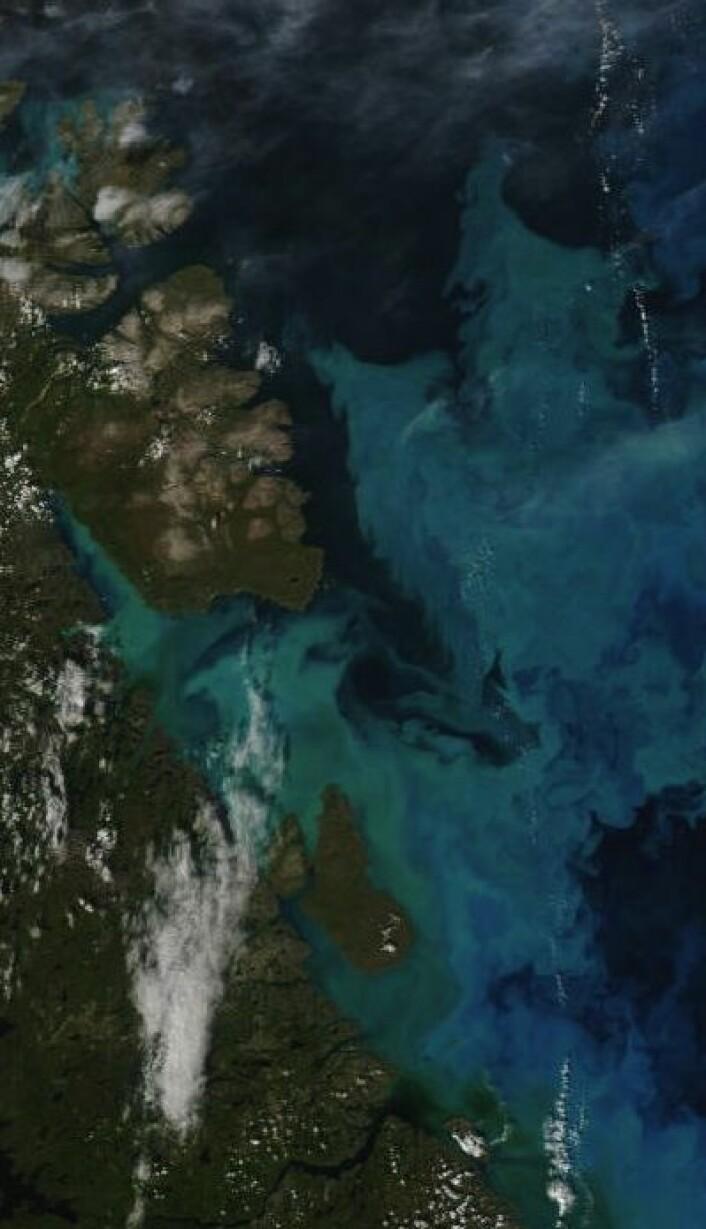 Fine farger i Varangerfjorden 25. august. Vi får håpe at det betyr godt fiske de kommende årene. (Nord opp til høyre). (Foto: (NASA MODIS))