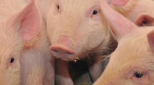 Bakgrunn: Fakta om svinepest