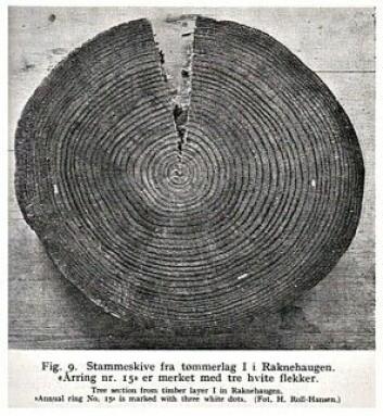 Raknehaugen på Romerike er Nordens største gravhaug. Inne i haugen er det funnet tømmerstokker som antakelig ble hugd året 551. De hvite strekene viser dermed årringen fra år 536. Legg merke til hvor smale årringene blir videre utover i treet etter dette. Bildet er tatt av forskeren H. Roll-Hansen i 1941. Om bare få uker går Frode Iversen, stipendiaten Josh Bostic og flere kolleger på nytt i gang med å forske på tømmeret fra Raknehaugen. Denne gangen med helt moderne metoder. Slik håper de å kunne slå fast hvordan temperaturen var – uke for uke – i året 536 og årene etter.