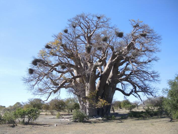 Dette er Chapman-baobaben, før den klappet sammen i 2016. Den var rundt 1400 år gammel. (Foto: A. Patrut)