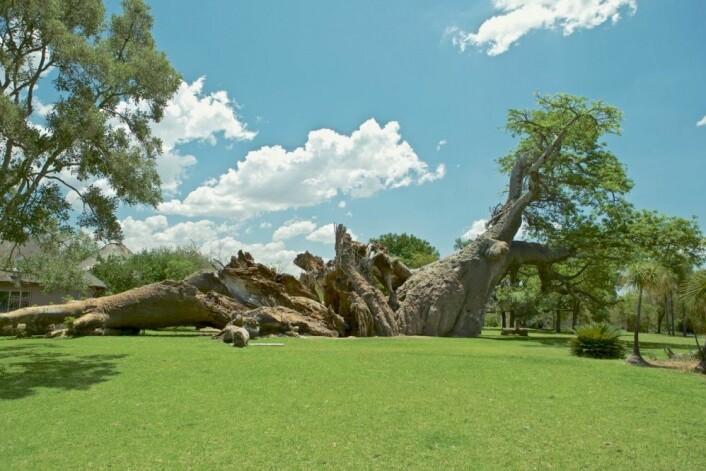 Sunland-baobaben etter kollapsen. (Foto: A. Patrut)