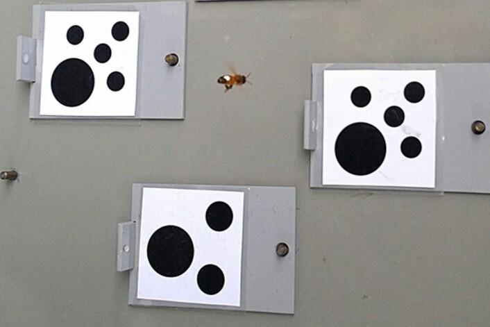 På treningsbanen. Bier lærer seg å skille mellom «større enn» og «mindre enn». (Foto: Scarlett Howard)