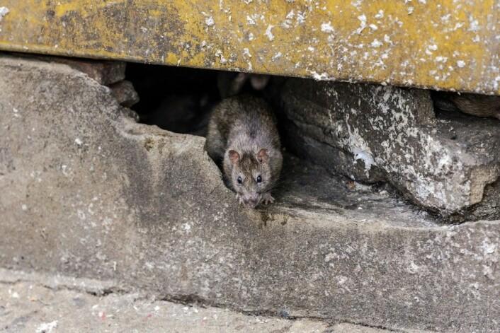 Kvinner viste større avsky enn menn overfor dyr som denne potensielle smittebæreren. (Illustrasjonsfoto: Chanawat Phadwichit, Shutterstock/NTB scanpix)