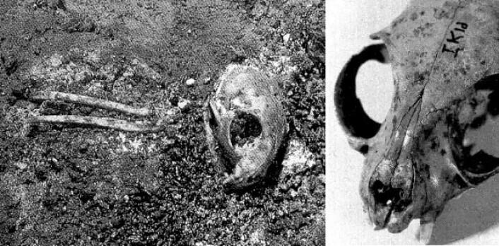 Skjæremerker på kraniene – som kan man se på bildet til høyre – viser at kattene har blitt flådd. Til venstre et kranium og forbeina fra en ung katt. (Foto: Ingrid Sørensen)
