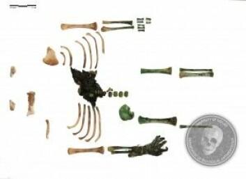 Her er alle kroppsdelene arkeologene fant. Noen er grønnfarget av kobberet.<br>(Foto: Universitetet i Szeged)