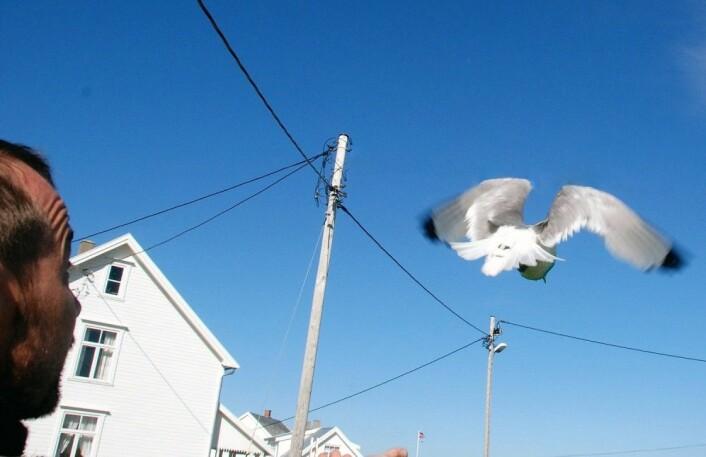 Det er viktig å følge et visst antall fugler over en viss tid. Her ei krykkje. (Foto: Signe Christensen-Dalsgaard)