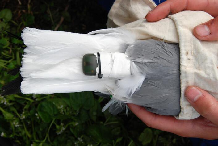 Forskeren festet små GPS-loggere med stoffteip til rygg eller hale på om lag 250 hekkende toppskarv og samme antall krykkje. (Foto: Signe Christensen-Dalsgaard)
