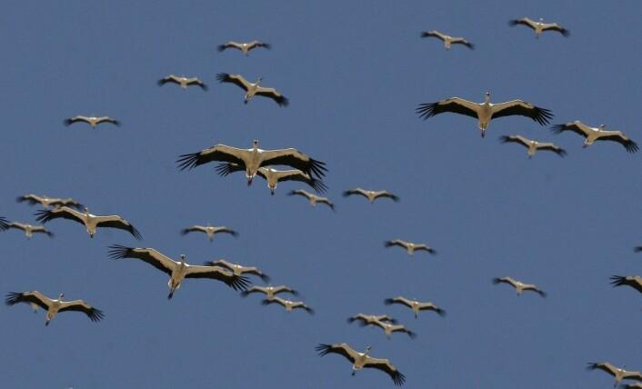 Storker migrerer i store grupper. Det kan se ut som om de er uorganiserte, men det er neppe tilfeldig hvilken plass fuglene har i flokken. (Foto: Ronen Zvulun/NTB scanpix)