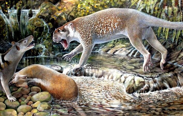 Slik tror forskerne at pungløven <em>Wakaleo schouteni </em>så ut. (Illustrasjon: Peter Schouten)